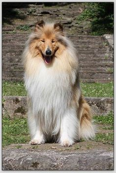 Fonzy Blond De La Vallée Du Charme, chien Colley à poil long