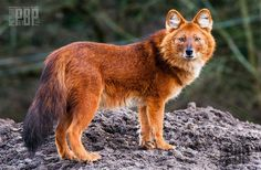 Dhole: The Dhole is native to central Asia. It whistles instead of barking, and also uses an extensive amount of body sign language.