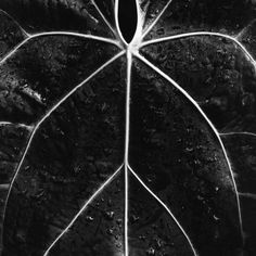 Veins of a Leaf Photographic Print by Brett Weston at Art.com