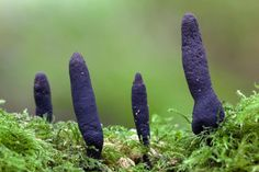 Picture of mushrooms that look like fingers