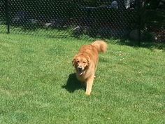 Bogey the golden retriever