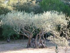 An olive grove behind our house