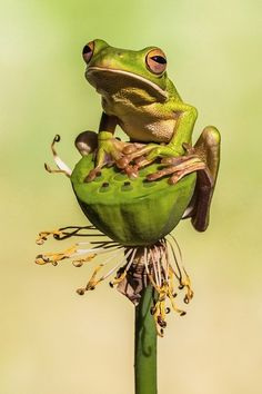 Funny Frogs, Cute Frogs, Animals And Pets, Funny Animals, Cute Animals, Nature Animals, Sapo Frog, Frog Species, Theme Tattoo