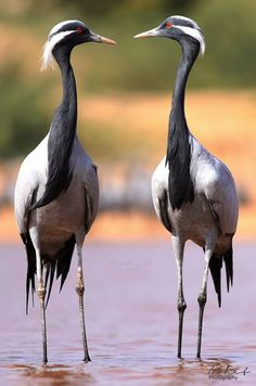 The Demoiselle Crane (Anthropoides virgo) is a species of crane found in central Eurasia, ranging from the Black Sea to Mongolia and North Eastern China.
