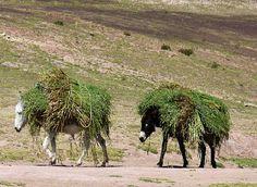 Categorie: Natuur foto's Bepakte ezels  Prijs per kaart vanaf: € 2,65 excl. porto Wenskaart is geheel naar eigen wens aan te passen, tekst, figuur of foto. www.wenskaartenshop.droomcreaties.nl