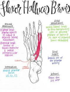 Flexor Hallucis Layer of Plantar Intrinsic Muscles Yoga Anatomy, Anatomy Study, Psoas Iliaque, Physical Therapy School, Occupational Therapy, Forearm Muscles, Gross Anatomy, Muscular System, Medical Anatomy