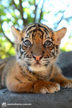 Beautiful Sumatran tiger.  Help save these gorgeous animals, they are on the brink of extinction.