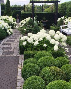 White Hydrangea Annabells in full bloom, garden path