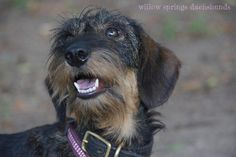 Willow Springs Miniature Wirehaired Dachshunds - Vattelapesca del Gotha (Vatti) http://www.willowspringsdachshunds.com/