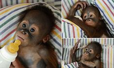 Say hello to Rizki, the tiny nappy-wearing orangutan who is hand-reared on milk and mashed banana after his mother rejected him at birth List Of Animals, Baby Animals, Funny Animals, Cute Animals, Little Babies, Cute Babies, Baby Orangutan, Cute Monkey, Baboon