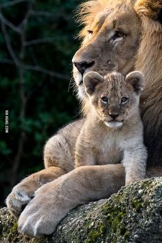 Majestic Lion with cub. I'm a Leo and am drawn to lion images. Big Cats, Cats And Kittens, Cute Cats, Animals And Pets, Baby Animals, Cute Animals, Beautiful Cats, Animals Beautiful, Beautiful Creatures