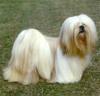 This dog looks so much like my beloved, departed Lhasa Apso.  The smartest, most wonderful dog there ever was.  They were once Tibetan temple dogs.