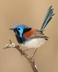 Variegated Fairy Wren Malurus lamberti lives in diverse habitats across most of Australia Pretty Birds, Love Birds, Beautiful Birds, Animals Beautiful, Cute Animals, Exotic Birds, Colorful Birds, Doodle Drawing, Birds Of Paradise Plant