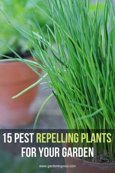 Gardening Tips The most natural and Eco-friendly way to repel pests from your gardens is to plant these pest repelling plants that will solve all your pest problems. Organic Gardening, Garden Soil, Garden Pests, Herbs, Plants, Growing Vegetables, Plants That Repel Ants, Container Gardening, Gardening Tips
