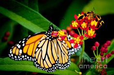 Monarch Butterfly At Lunch With 2 Box Elder Bugs by Andee Design