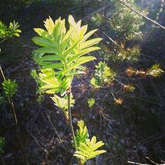 Rowen tree is finally growing leaves even though May in the Southern part of Finland has been so far a bit cooler than usually. / Pihlajaan on kasvanut nopeasti lehdet kylmästä toukokuusta huolimatta.