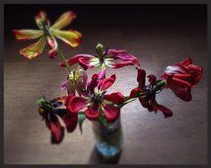 The last sad tulips of the season
