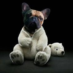 French Bulldog 'Polar Bear'.
