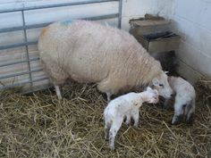 Abbotsholme's first lambs for 2015