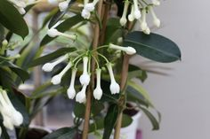 Stephanotis floribunda 'Bridal Wreath' - Not crazy about the name but love this indoor plant. Mist leaves regularly and apply a liquid feed every 2 weeks. Colorful Garden, Garden Furniture, Indoor Plants, Centre, Leaves, Wreaths, Colour, Bridal, Interior