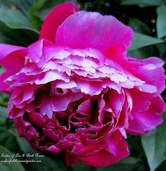 Peony ~ Garden Walk ~ June 1st (Garden of Len & Barb Rosen)