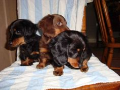Google Image Result for http://images.canadianlisted.com/nlarge/long-haired-miniature-dachshund-puppies_4968186.jpg