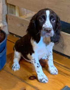 Meet Stanley - English Springer Spaniel puppies for sale in East Palestine, Ohio. Find cute English Springer Spaniel puppies, dogs, and breeders at VIP Puppies. Springer Spaniel Puppies, Spaniel Dog, Spaniels, Spaniel Puppies For Sale, Lab Puppies, Sprocker Spaniel, Dog Grooming Business, Getting A Puppy, English Springer Spaniel