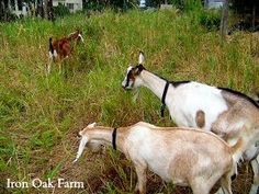 Grit Post: Learn how we make cream and butter from our dairy goats.