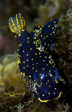 Another nudibranch, this one is fluorescent. I find myself endlessly fascinated with the incredible variety and stunning colors in these tiny obscure creatures. Beautiful Sea Creatures, Deep Sea Creatures, Animals Beautiful, Underwater Creatures, Underwater Life, Fauna Marina, Life Under The Sea, Beneath The Sea, Sea Slug