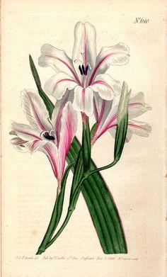 1803 Gladiolus Floribundus Antique Botanical Print Vintage Flower Plate Curtis Botanical