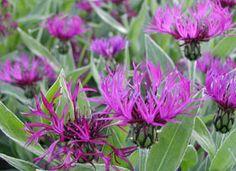 Centaurea montana 'Purple Prose' - Berg-Flockenblume, sonnig, 40 - 50 cm hoch, blüht 5 - 7