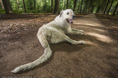 Longest tail on a dog: When Irish wolfhound Keon, five, wags his tail you'd better watch out — because it's 30.2in long. He lives with owner Ilse Loodts, 46, in Westerlo, Belgium, who applied for the record when her sons realised Keon's tail surpassed that of the previous record holder, another wolfhound, by 1.7in