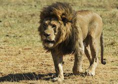 Löwe, Wild, Raubtier, Große Katze, Mähne, Wandern