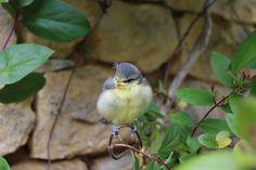 Fledgling Blue Tit starting to discover the garden Blue Tit, Bird, Garden, Animals, Animais, Garten, Animales, Animaux, Birds