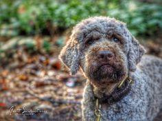 Anett Seidensticker - Photographie - Podgi & Beppa Italian Water, Lagotto Romagnolo, Pup, Dogs, German Shepherds, Dog Stuff, Animals, Street Wear, Passion