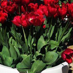 "Fluwel's Tulpenland - ""Altijd boeiend, altijd bloeiend!"" #tulpen #tulpenland #fluwelstulpenland #flowers"