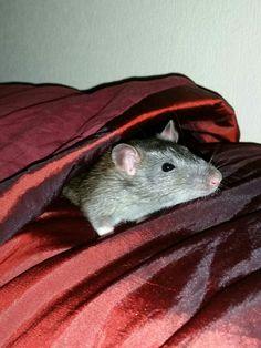 Don Cesarion del raton
