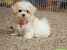 Gratis lindo cachorros maltés disponibles