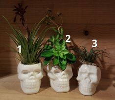 High Skull Planters with No Kill Succulents