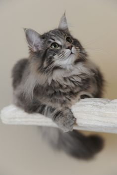 fluffy gray kitty