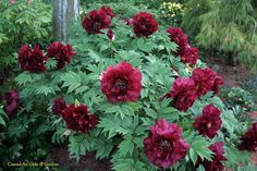 Hesphestos Tree Peony. Fragrant, ruffled blooms held well above the foliage on strong stems. Flowers in midseason.