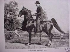 American Saddlebred five gaited stallion Kalarama Colonel was sired by Kalarama Rex.