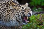 Persian Leopard Pictures