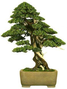 bonsaitoday:  Needle Juniper Juniperus Rigida, Bonsai Today #75, Cover