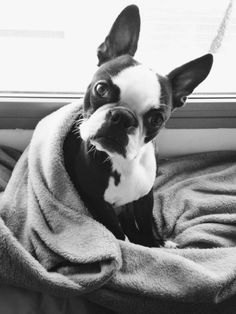 Boston Terrier Dog with his Blanket