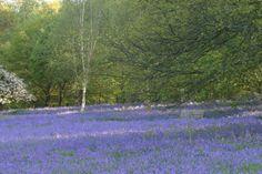 Winkworth Arboretum - gardens in spring, stunning bluebell display