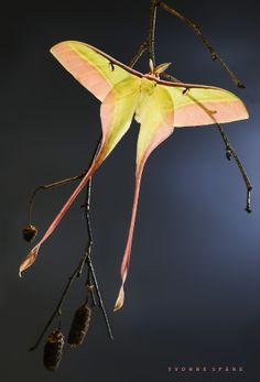 Silk Moth (Actias dubernardi)