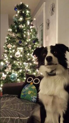 I love my pictures of my border collie Jake at Christmas!