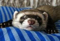 So cute!! Ferrets are the best pets ever.