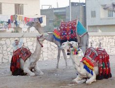 Camels in the town of  Nazlet el-Simman